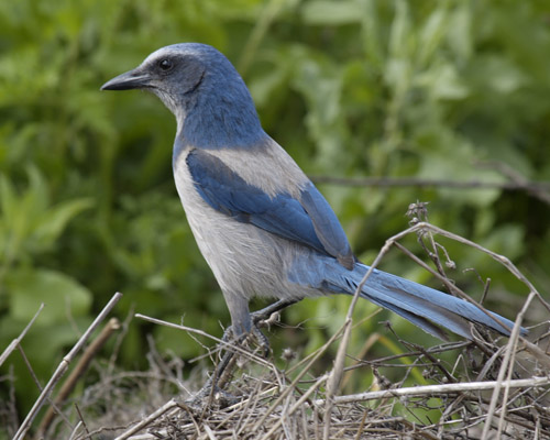 The Florida Scrub-Jay Trail